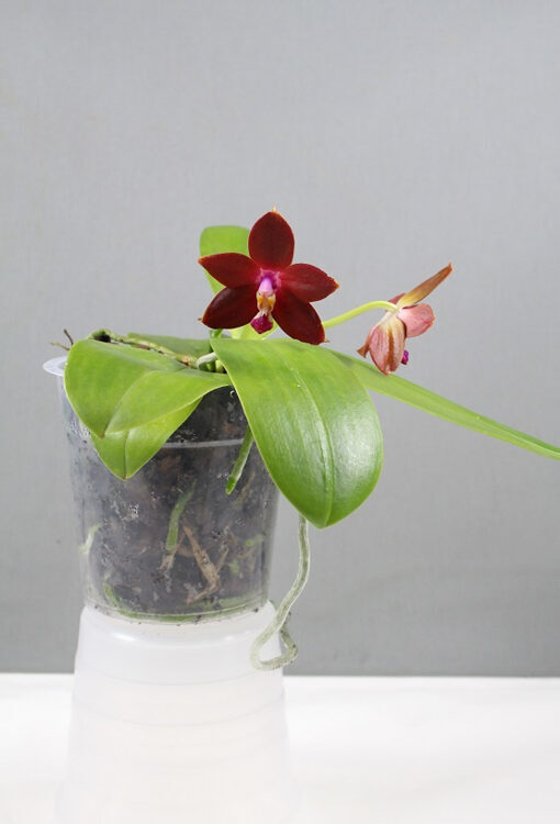 PHALAENOPSIS 'Bear King'