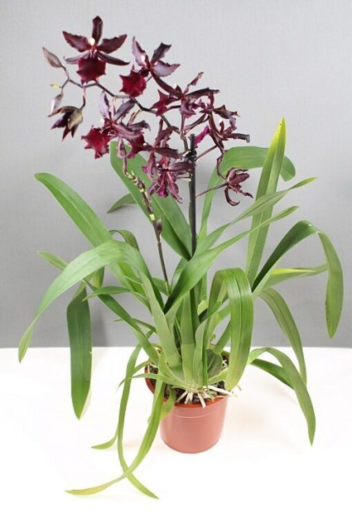 Cambria 'Massai Red'